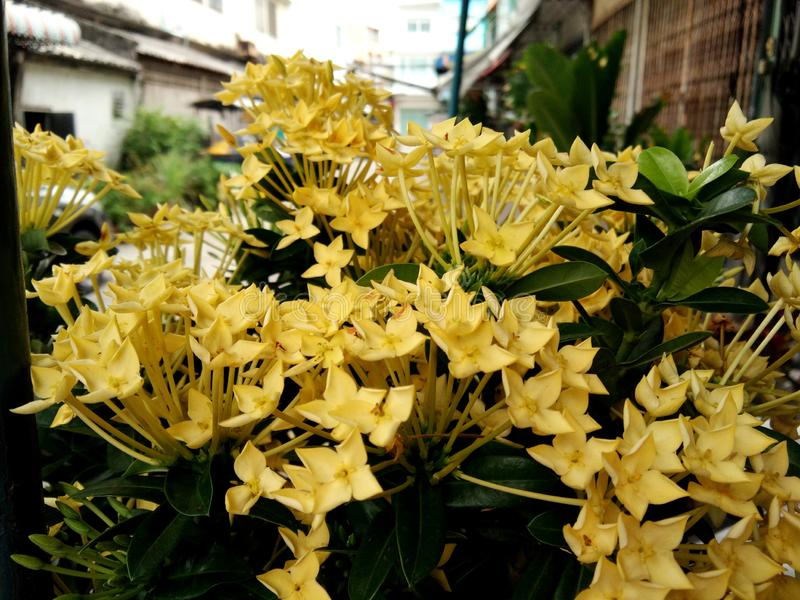 Blossom yellow Ixora, spike flower bouquet, blurred outdoor background stock photos