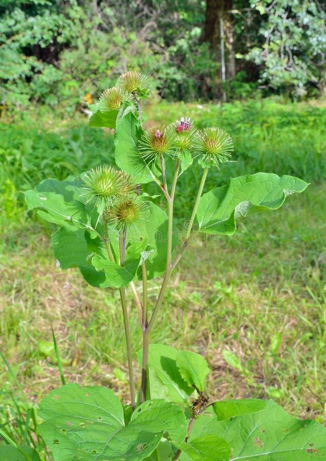 Blossomberende burdock Arcticum lappa 1 royalty-vrije stock afbeeldingen
