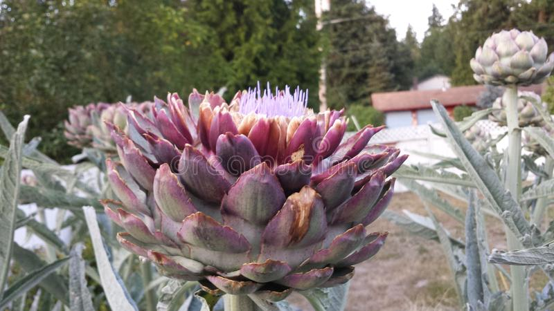 Blossomed Artichoke. Picture from my Garden of a Blossomed Artichoke royalty free stock images