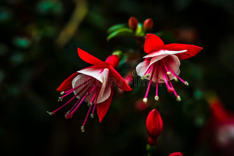 Blossomed Fuchsia Buds. Made For Each Other royalty free stock images