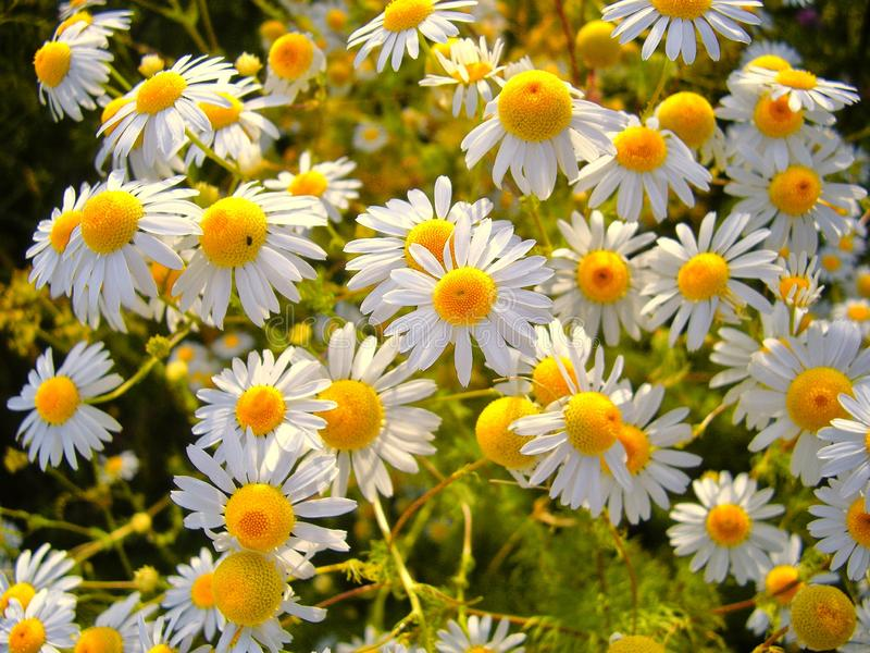 Blossomed meadow summer natural background.  royalty free stock images