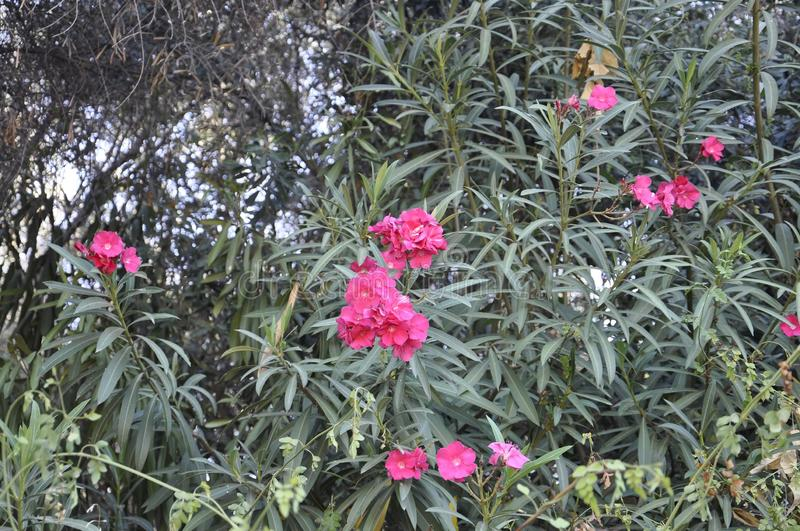 Blossomed Oleander background from Athens in Greece. On september 6th 2017 royalty free stock photos