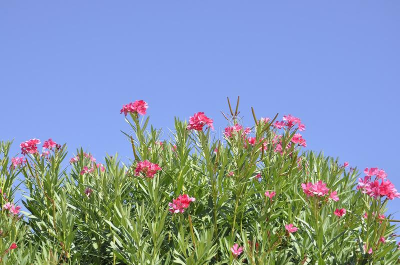 Blossomed Oleander in the sky from Athens in Greece. Red Blossomed Oleander in the sky from Athens in Greece on september 6th 2017 royalty free stock photography