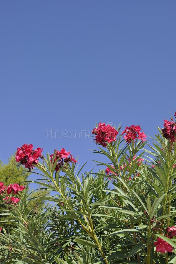Blossomed Oleander in the sky from Athens in Greece. Red Blossomed Oleander in the sky from Athens in Greece on september 6th 2017 royalty free stock photos