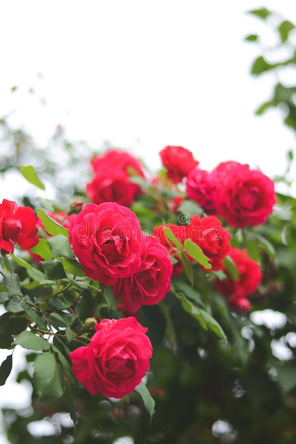 Blossomed roses. Red, blossomed roses in the summer. Retro styled photo stock images