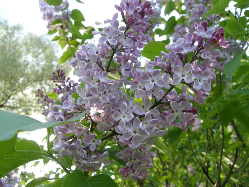 Spring bush of lilac in the in the park. Blossomed spring lilac bush in the park. Fragrant and curvy lilac flowers stock photo