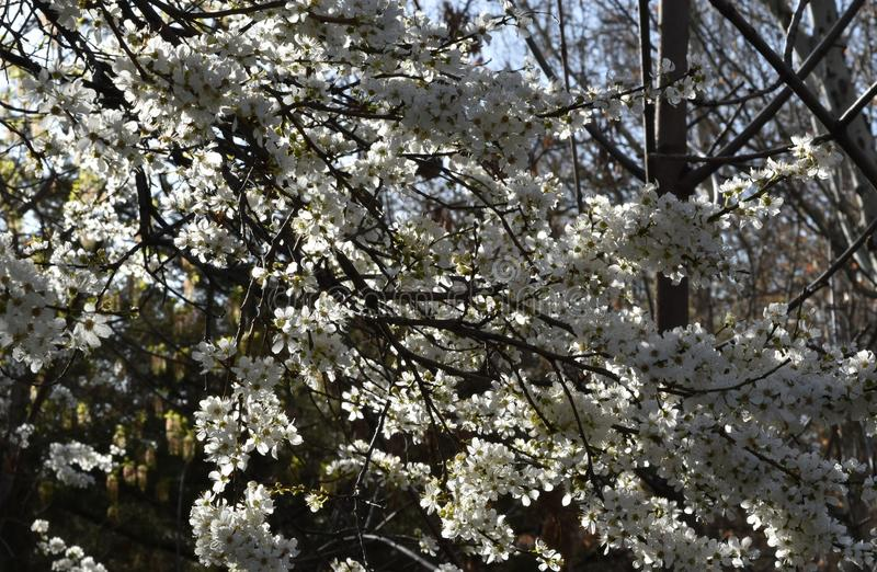Blossomed tree. Branches in spring, flowering tree, white flowers, sun, sunny day, tree flowers, white, blossoming tree stock image