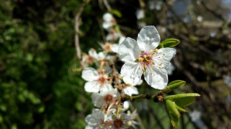 Blossomed tree in March. A blossomed tree branch against a grassy background in March, Spring, England stock image