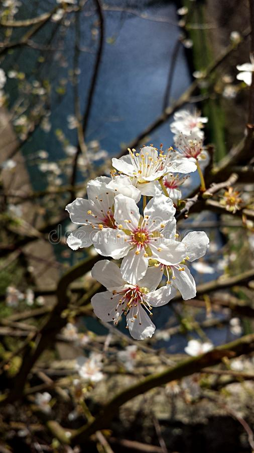 Blossomed tree in March. A blossomed tree branch with a pond in the background in March, Spring, England stock photo