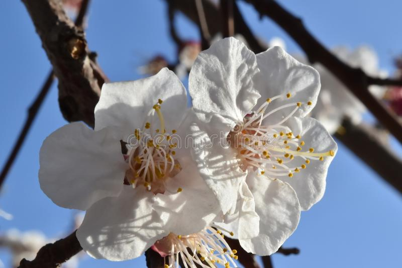 Blossomed tree branch. In spring, flowering tree, white flowers, tree flowers, blossoming tree, white color, blue sky stock photography
