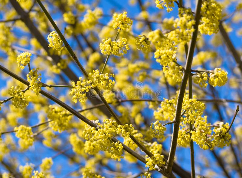 Blossomed tree with yellow flowers stock photos