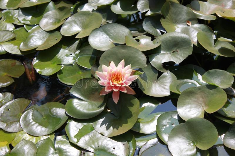 A blossomed vibrant pink lotus. A Beautiful blossomed vibrant pink lotus in the pond for display stock images
