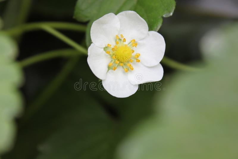 A blossomed vibrant white flower. A Beautiful blossomed vibrant white flower for decoration stock images