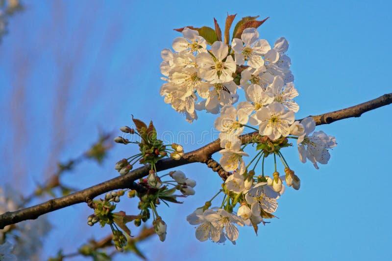 Blossomflowers brancos da cereja - Prunus fotografia de stock royalty free