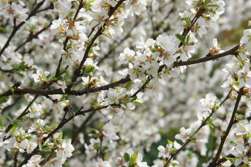 Blossomig-Weißkirschbaum lizenzfreies stockbild