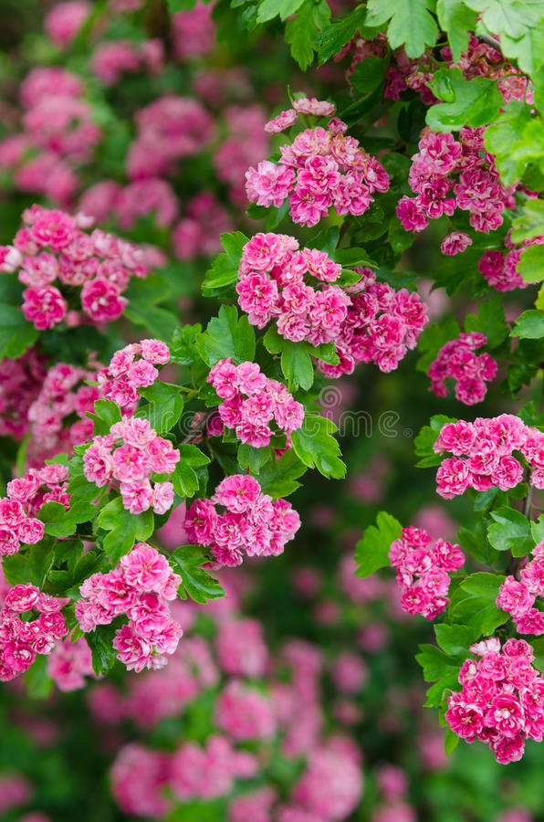 Blossoming боярышник стоковые изображения rf