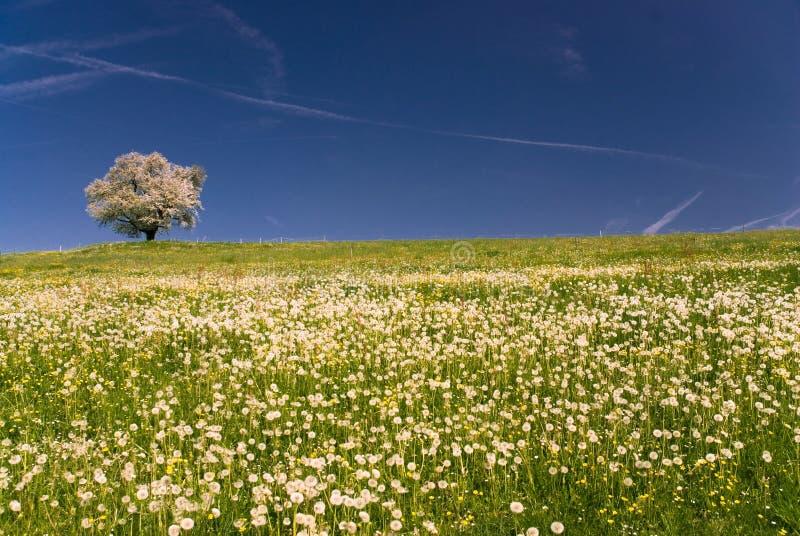 blossoming вал вишни стоковые фото
