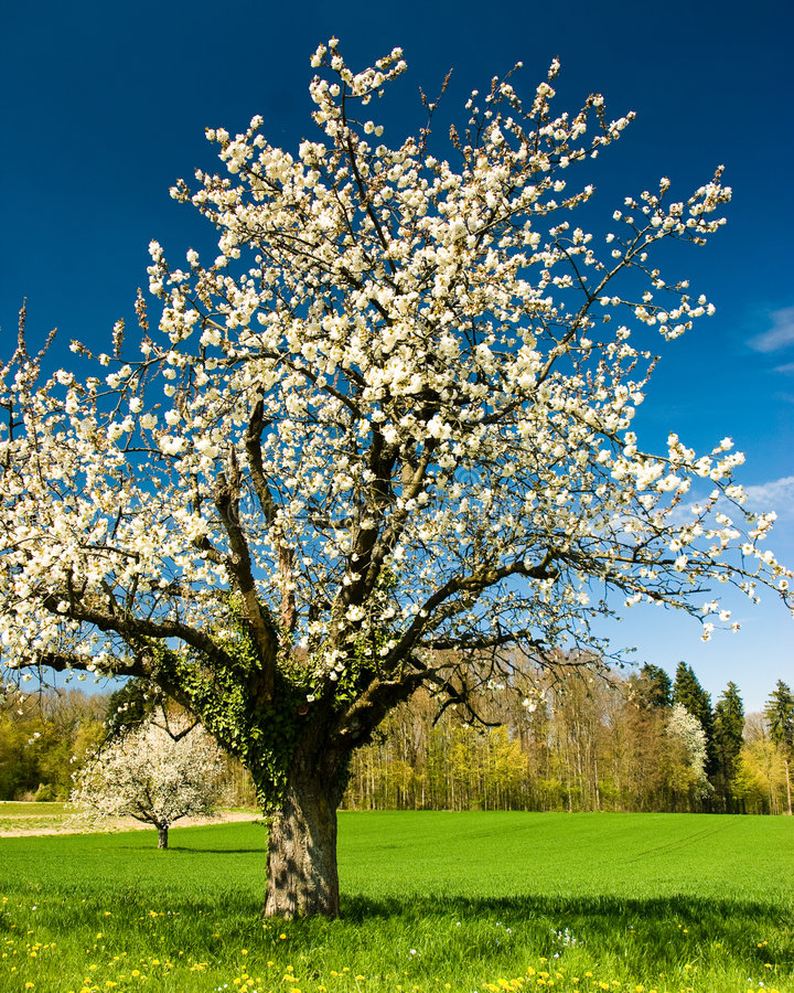 blossoming вал chery стоковая фотография