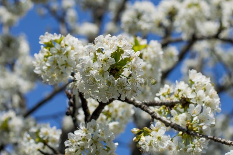 Blossoming ветви фруктового дерев дерева, время весны blossoming стоковые изображения