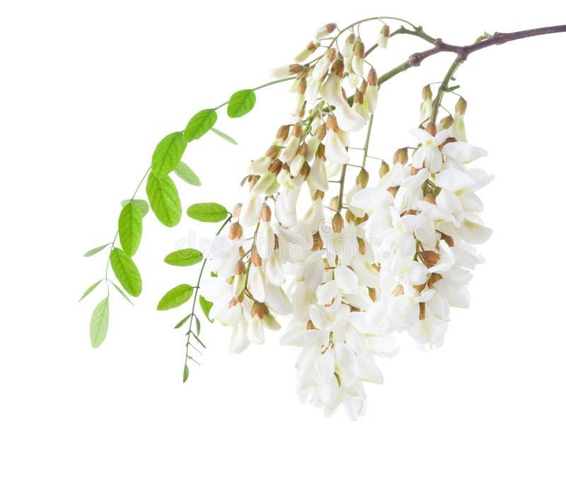 Blossoming ветвь акации изолированная на белой предпосылке Черная саранча стоковое изображение rf
