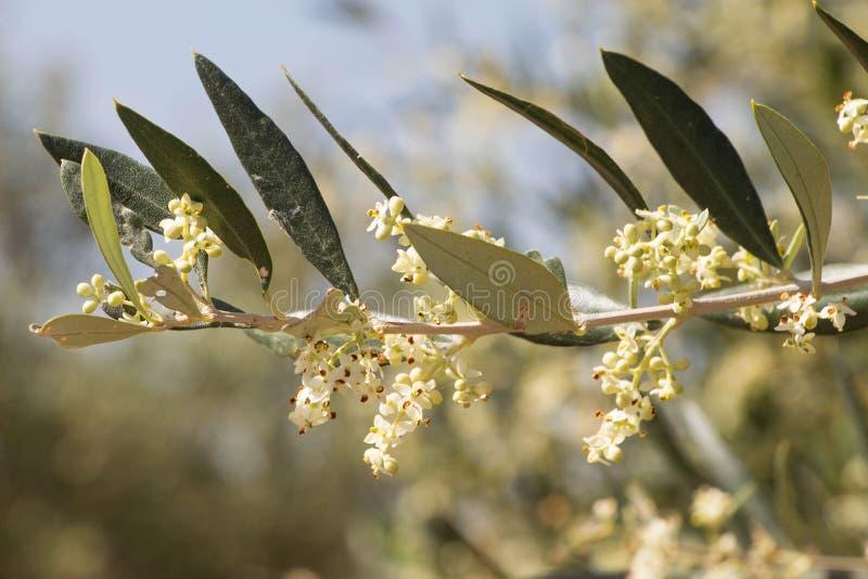 Blossoming ветвь Греция оливкового дерева стоковые изображения rf