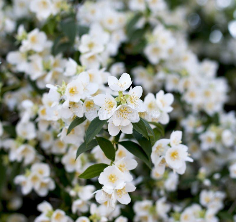 Blossoming ветвь жасмина стоковые фото