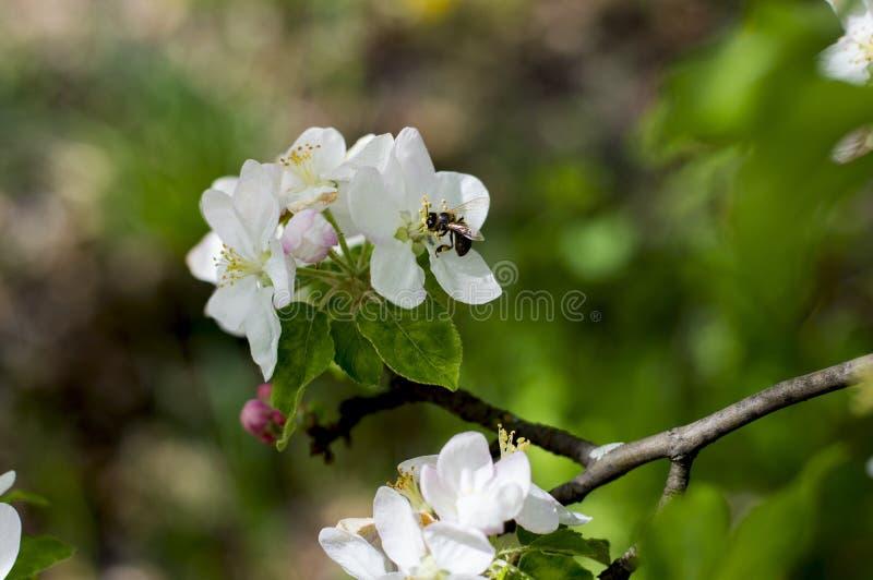 Blossoming ветвь яблони, пчела собирает нектар стоковая фотография rf