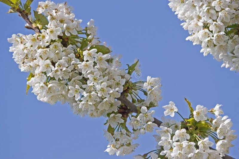 Blossoming вишневое дерево в Хорватии стоковое фото rf