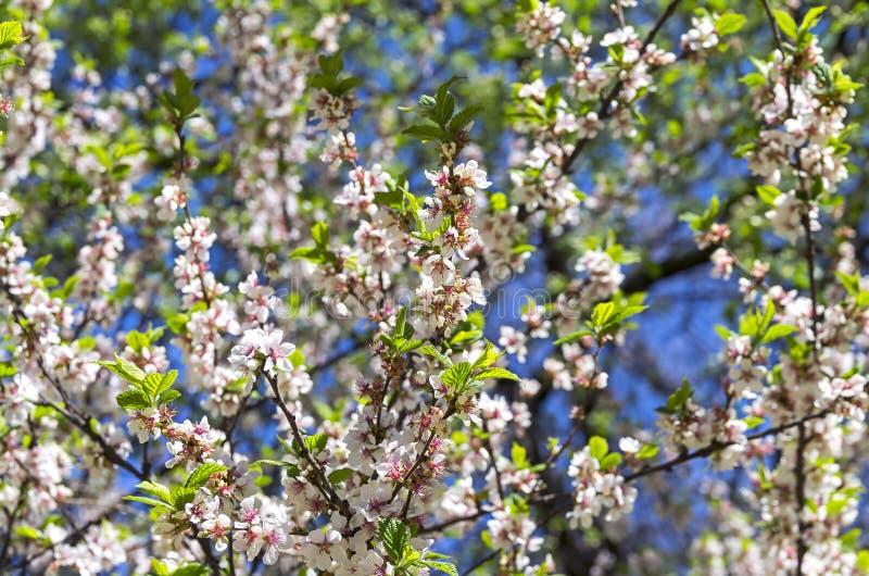 Blossoming вишня nanking стоковые изображения rf