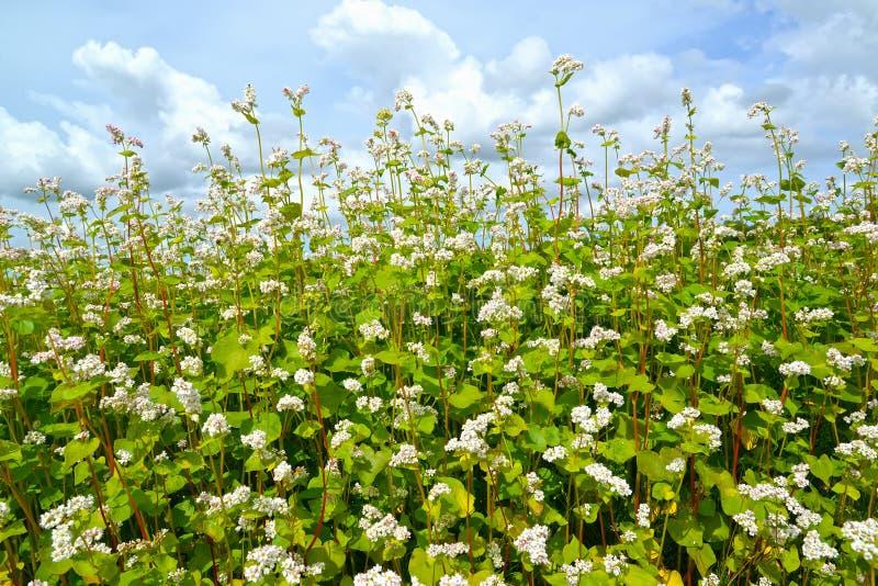 Blossoming гречиха засуя ainst Moench ag Гречихи esculentum предпосылка неба стоковые изображения