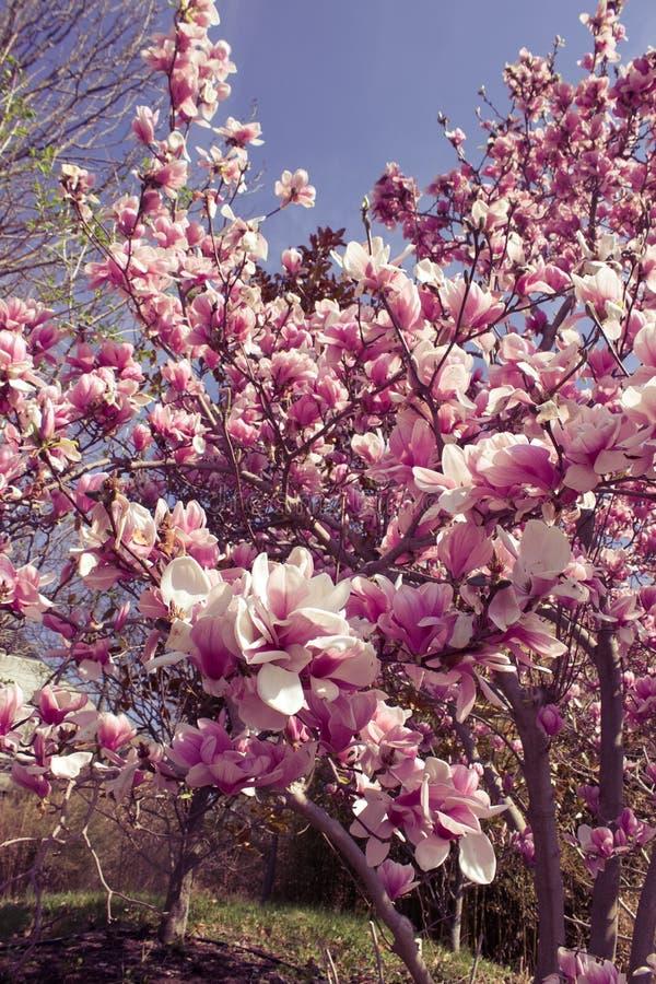 blossoming дерева магнолии стоковое изображение