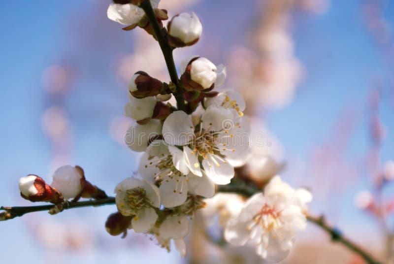 Blossoming дерево стоковое изображение rf