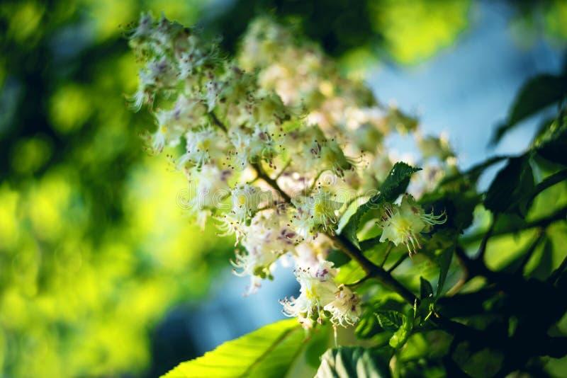 blossoming каштаны Castanea sativa весна предпосылки красивейшая флористическая sally fireweed поля epilobium глубины angustifoli стоковое изображение rf