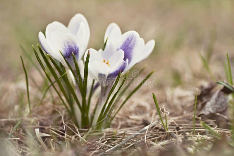 Blossoming крокус комка в лужайке стоковое фото rf