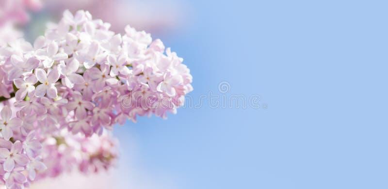Blossoming куст сиреней Syringa vulgaris Предпосылка красивого весеннего времени флористическая с пуком розовых фиолетовых цветко стоковые изображения rf