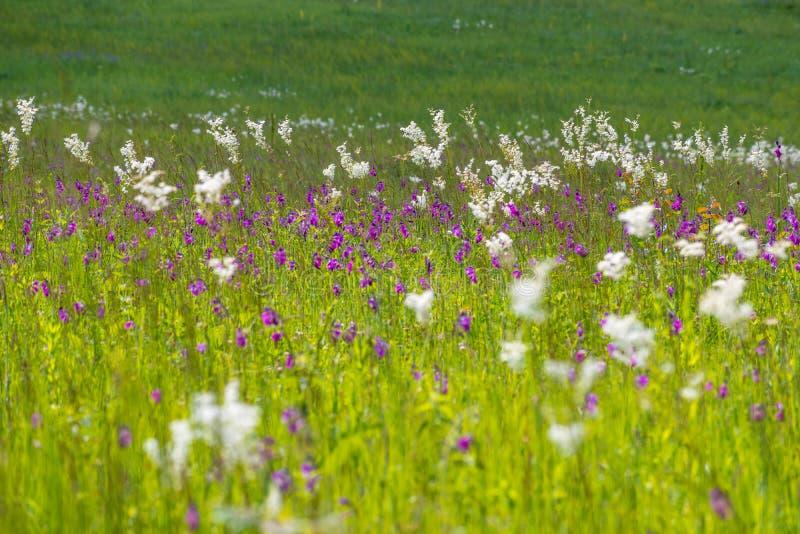 Blossoming лета заводов на луге стоковые изображения