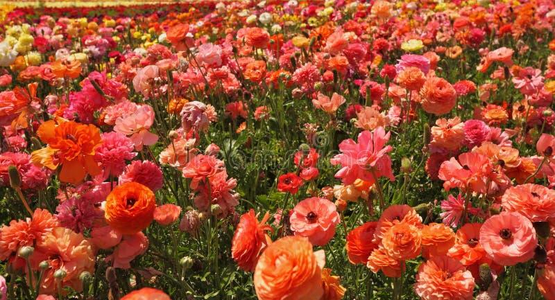 blossoming лютики field помеец стоковое фото