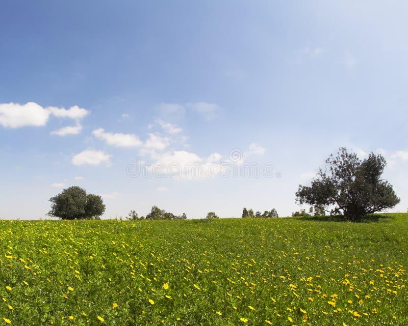 blossoming поле camomiles стоковые фотографии rf
