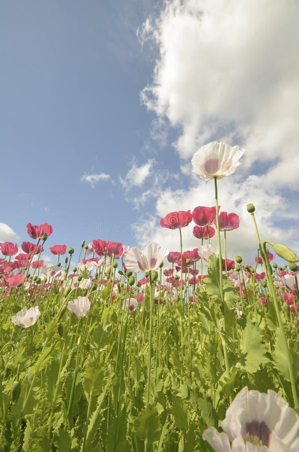 Blossoming поле мака стоковые изображения