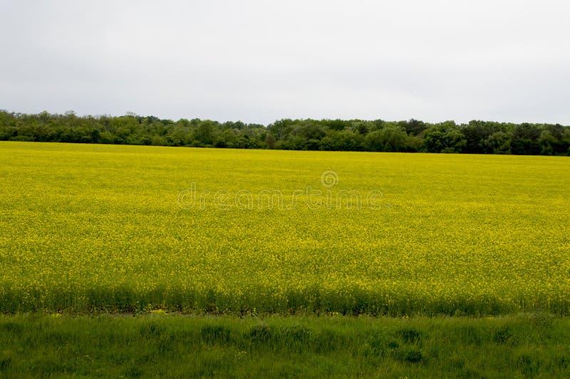 Blossoming поле рапса на фоне древесины стоковые фото