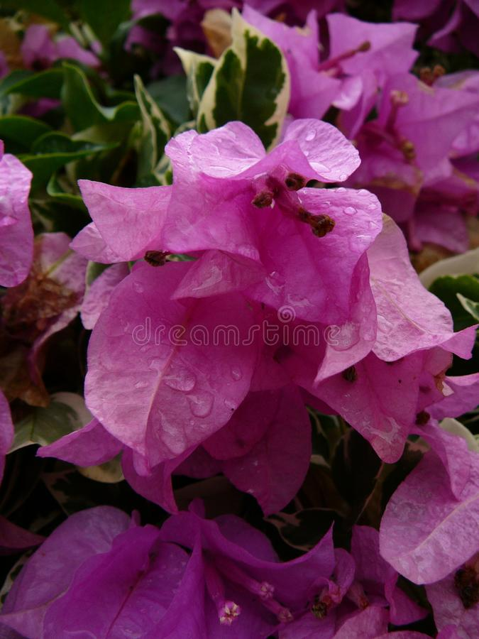 Blossoming розовые троповые цветки на полдне стоковая фотография