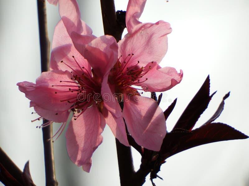 Blossoming цветение персика стоковые фотографии rf