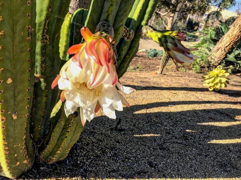 Blossoming экзотический кактус в парке бальбоа стоковая фотография