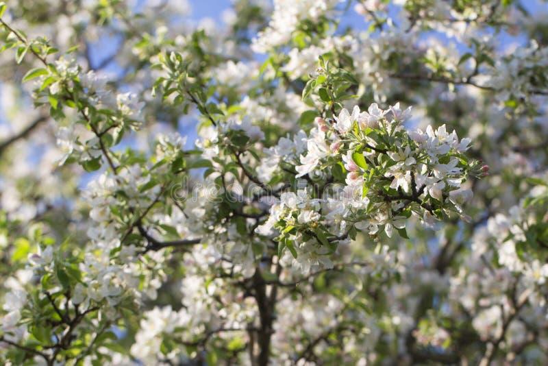 Blossoming яблоня, яркая свежая предпосылка весны стоковые изображения