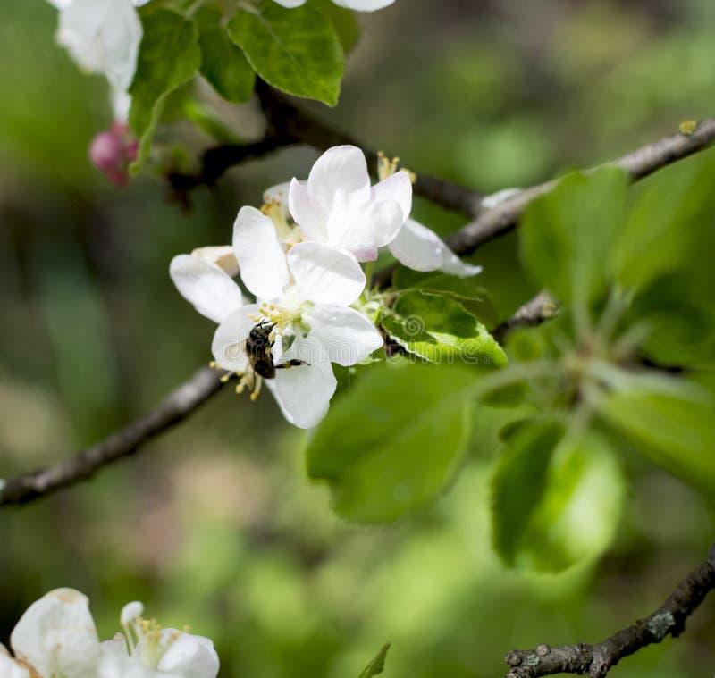 Blossoming яблоня, пчела собирает нектар стоковые фото