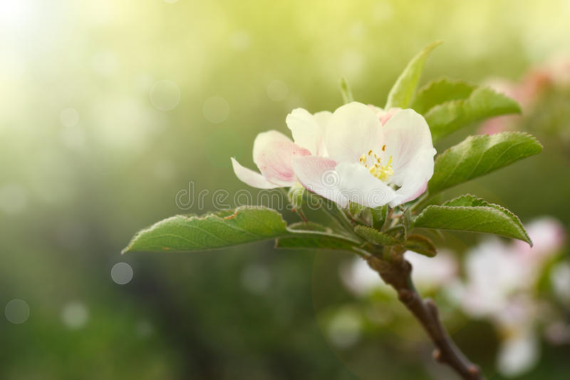Blossoming яблоня стоковые изображения rf