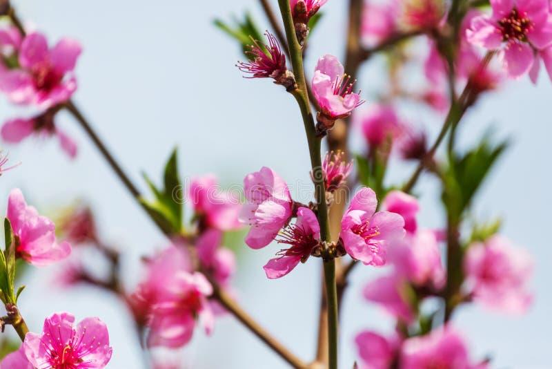 Дерево цветения стоковые изображения rf