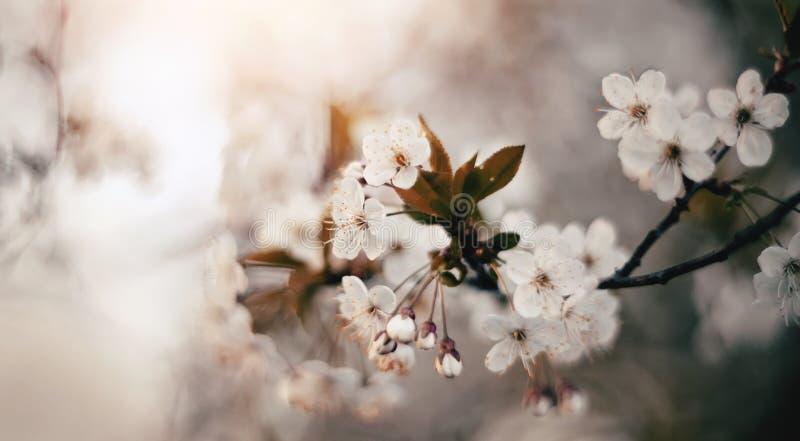 Цветение цветков вишни стоковая фотография rf
