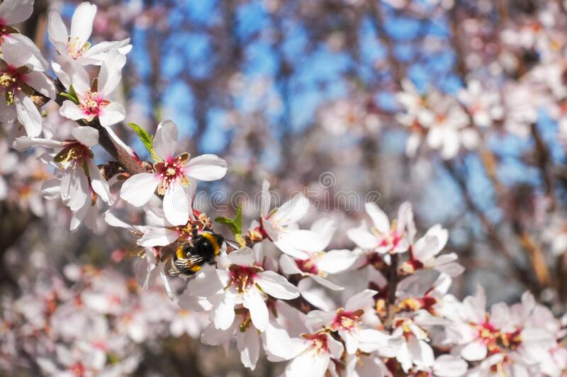 Blossoming almond flowers tree and bee royalty free stock image