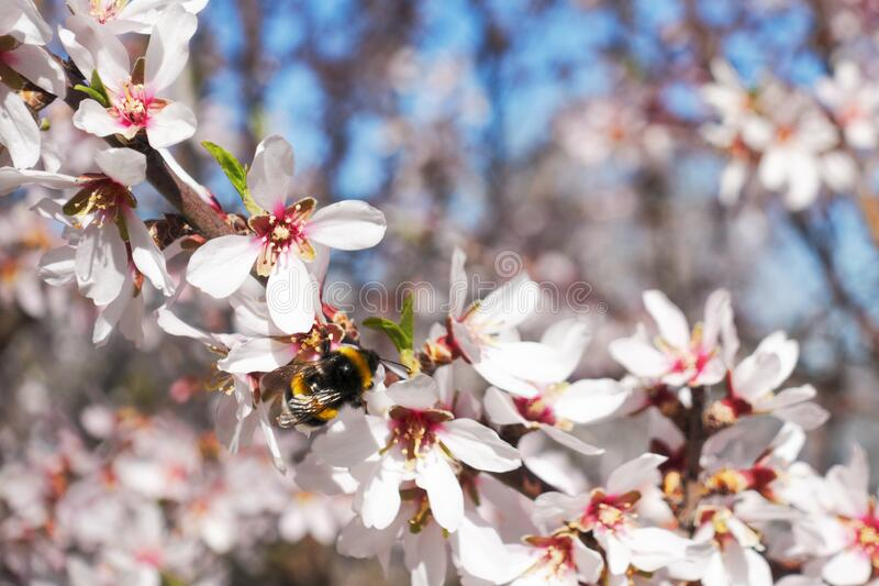 Blossoming almond flowers tree and bee stock images
